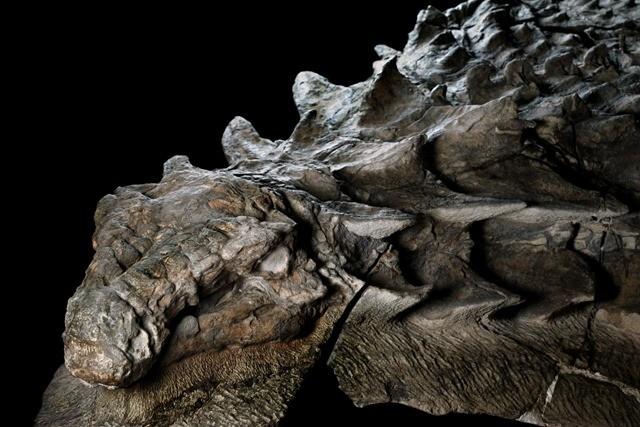 nodosaur-fossile-17