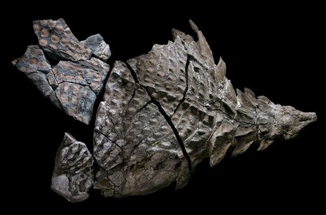 nodosaur-fossile 2-17