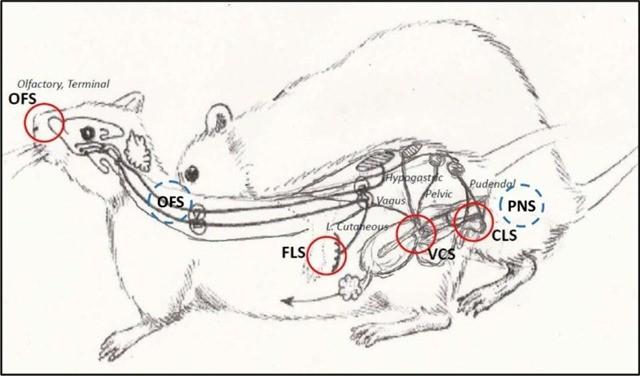 Les rats ont-ils des orgasmes ?