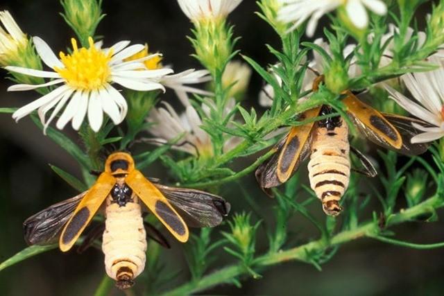 Pourquoi le parasite de ce coléoptère lui fait-il adopter une aussi curieuse posture ?