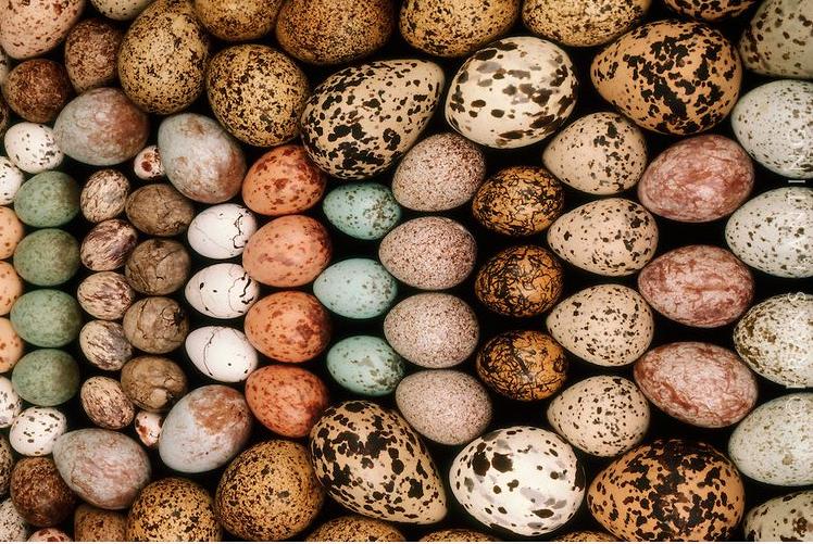 Pourquoi les œufs sont-ils ainsi façonnés ?