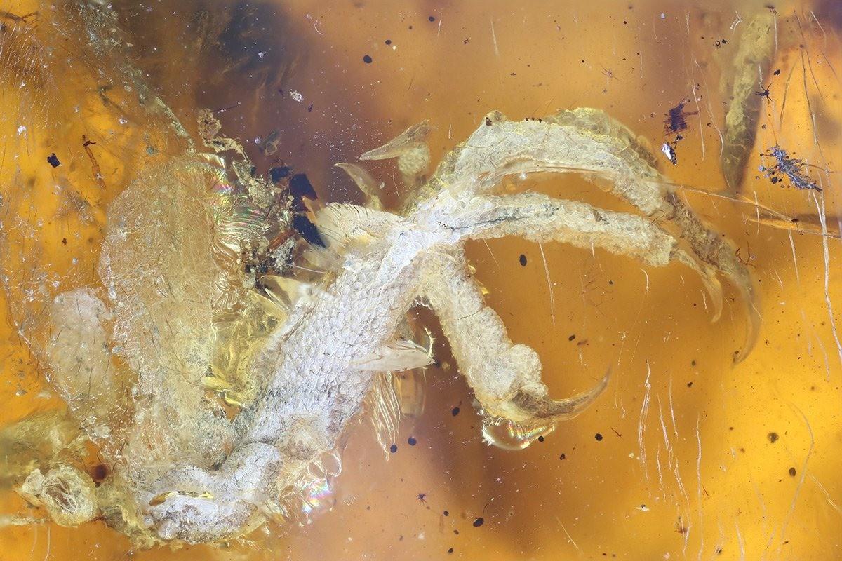 Un oisillon coincé dans de l'ambre depuis 99 millions d'années