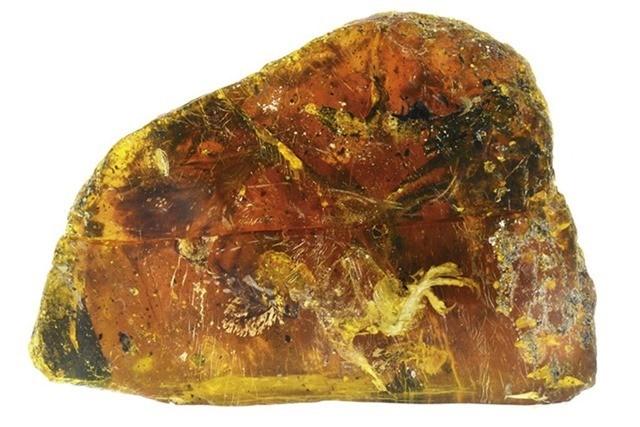 oisillon ambre 3