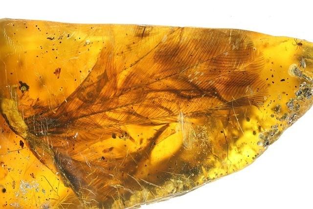 oisillon ambre 5