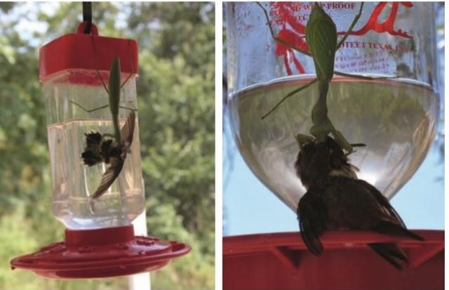 mante religieuse-colibris 2
