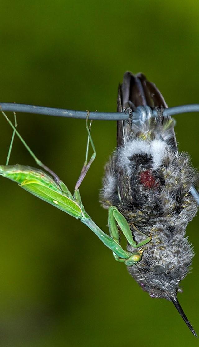 mante religieuse-colibris 5