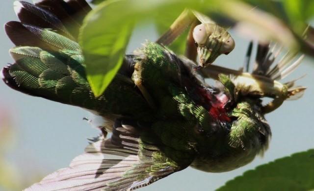 mante-religieuse-colibris-6.jpg