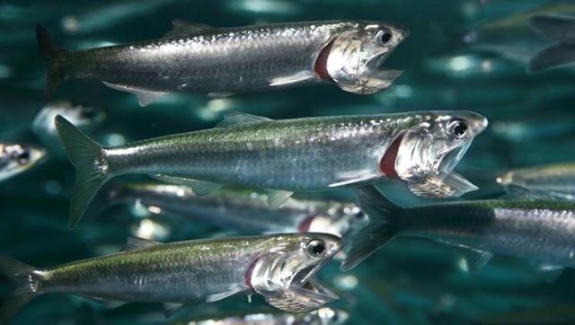 L'odeur du plastique attire les poissons