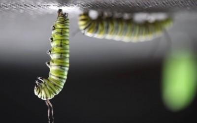 Un magnifique accéléré d'une chenille de papillon formant une chrysalide autour d'elle