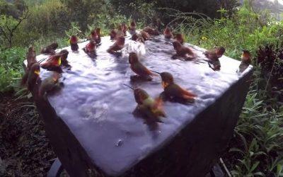 Une inhabituelle réunion de colibris pour un bain à remous
