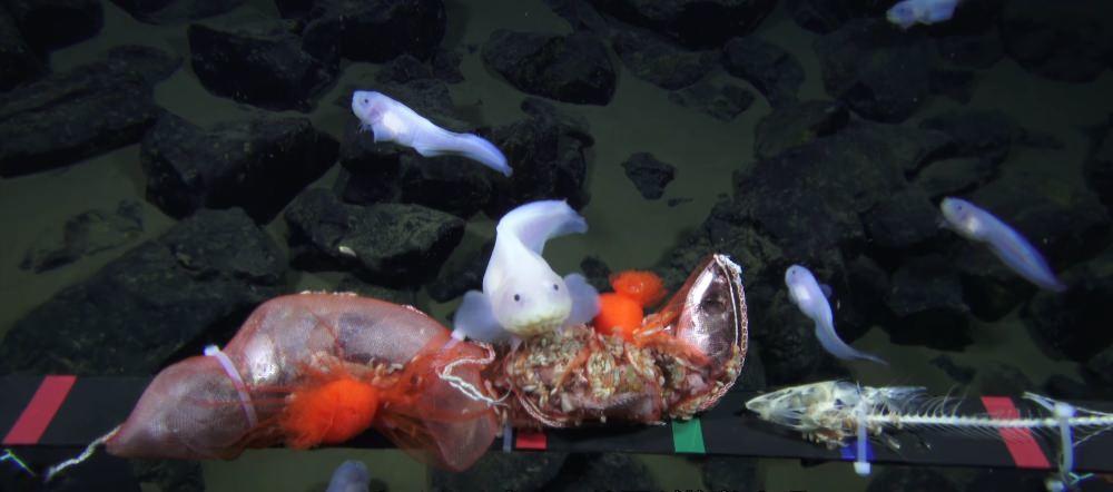Un poisson a battu un record de profondeur, filmé à 8 178 m