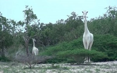 Des girafes blanches sauvages repérées au Kenya