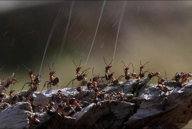 fourmi rousse des bois