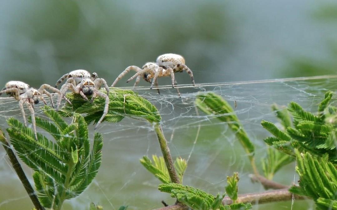 Des araignées femelles encore vierges se sacrifient en se laissant manger par les petits d'autres femelles