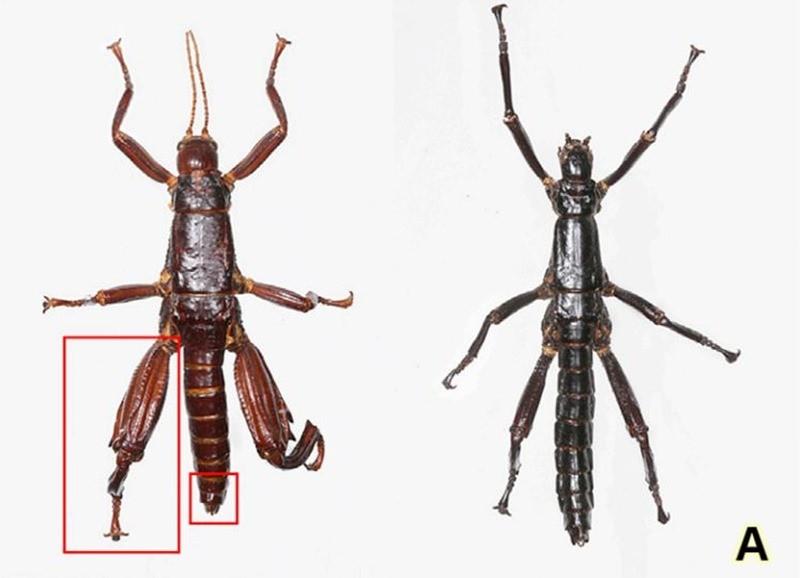 Dryococelus australis comparaison