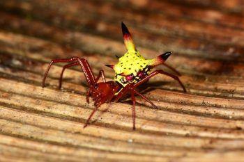 Pourquoi cette araignée à la tête de Pikachu en guise d'arrière-train ?