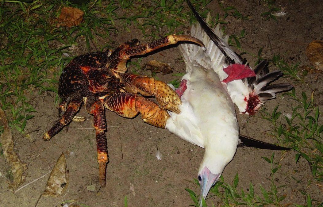 Les grands crabes des cocotiers n'hésitent pas à chasser et à dévorer les oiseaux de mer