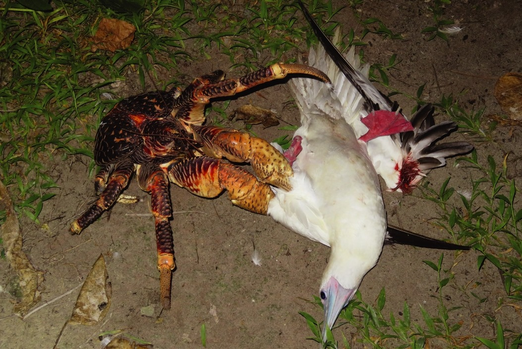 crabe cocotier-fou