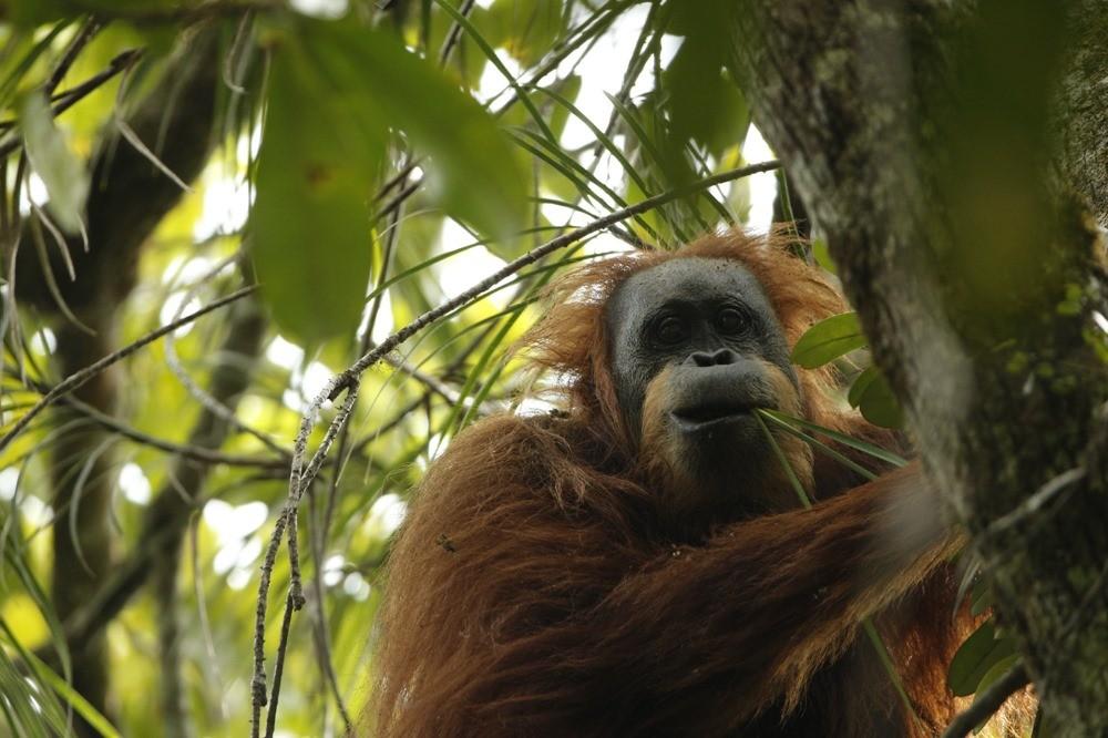 orangs-outang Tapanuli