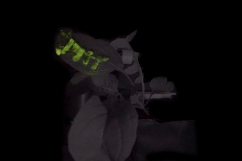 MIT-Glowing-Plants-02