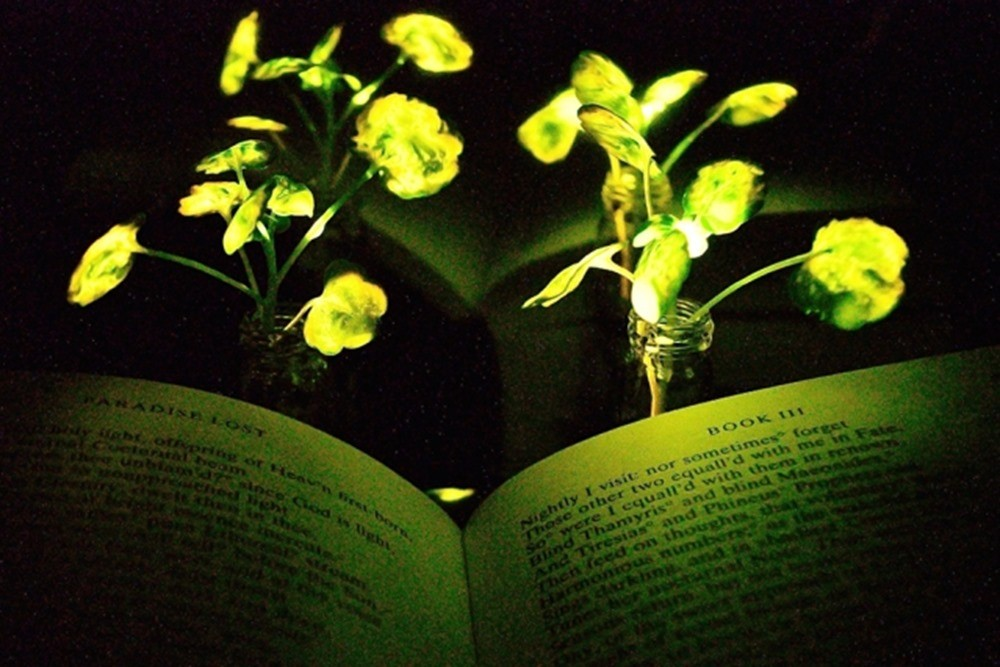 MIT-Glowing-Plants_0