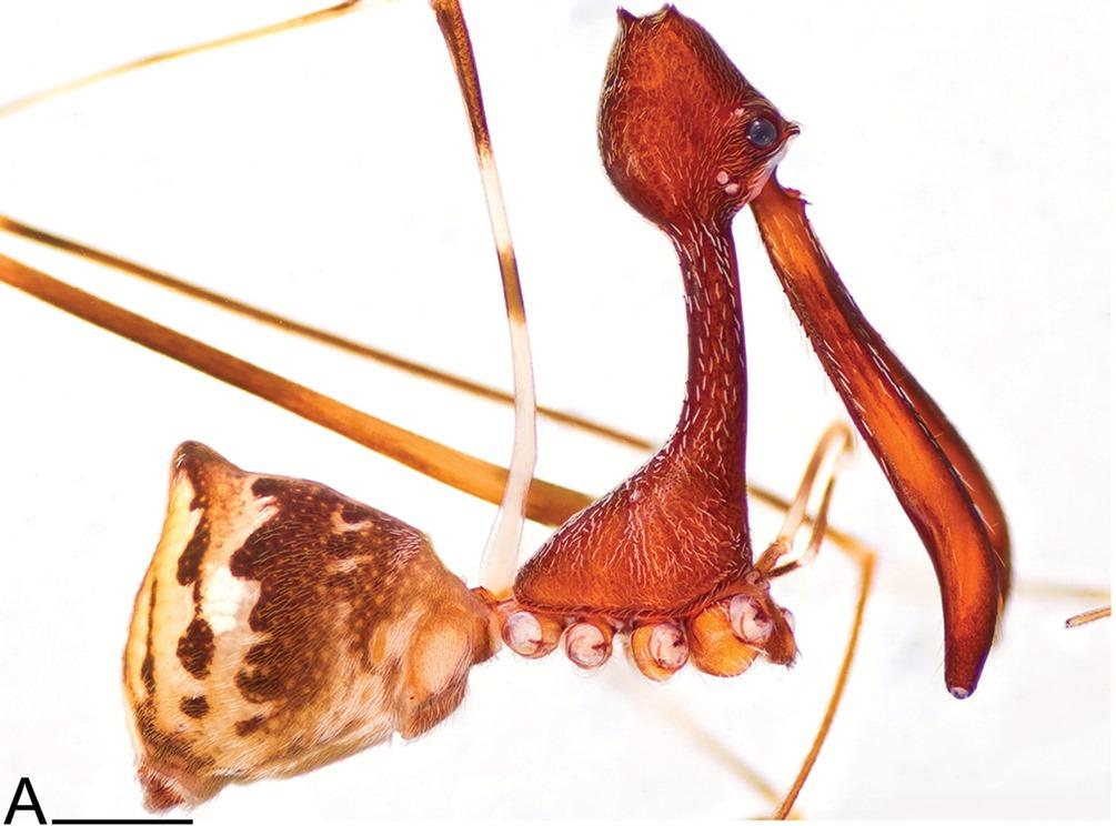 Eriauchenius andrianampoinimerina