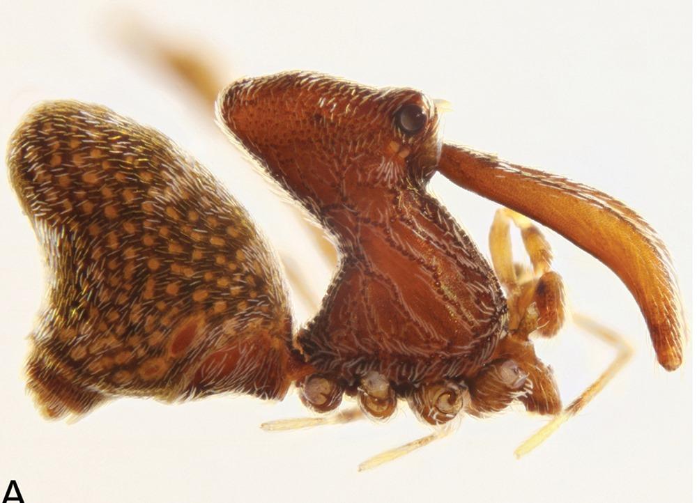 Madagascarchaea jeanneli