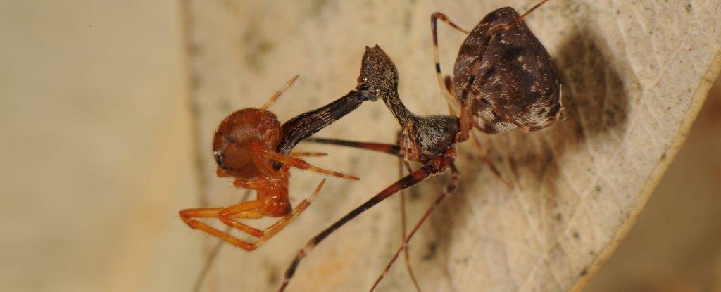Les anciennes araignées pélican sont encore bien vivantes et aussi diversifiées qu'elles sont étranges