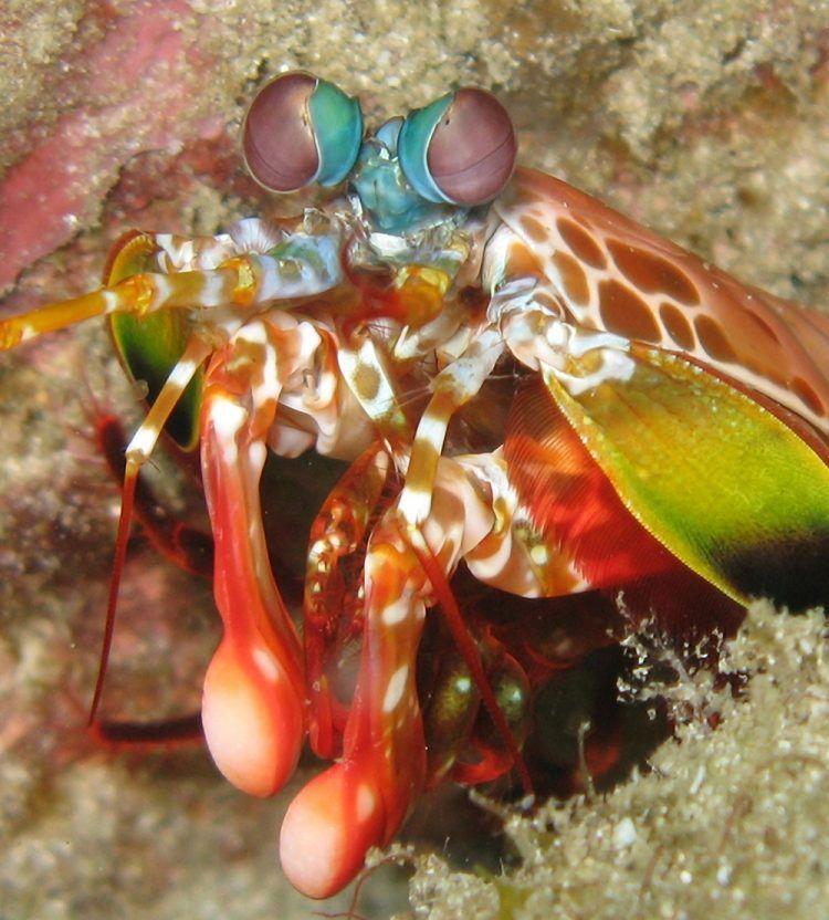 Crevette-mante : dans le secret de la résistance des plus rapides et des plus puissantes massues animales