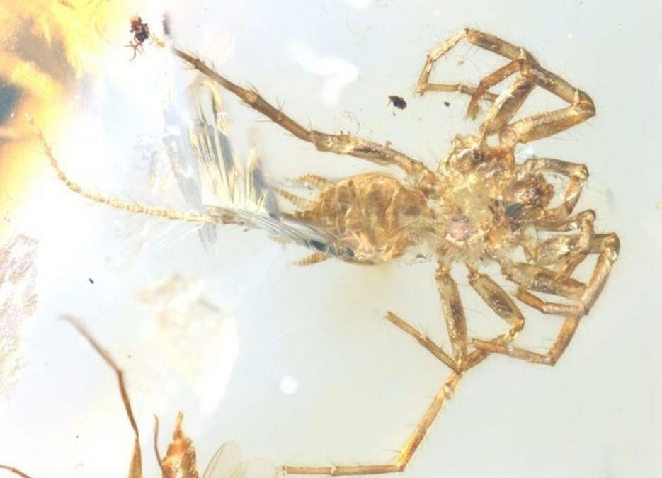 Coincée dans de l'ambre, cette ancienne araignée avec une queue n'arrive pas à trouver sa place dans l'histoire