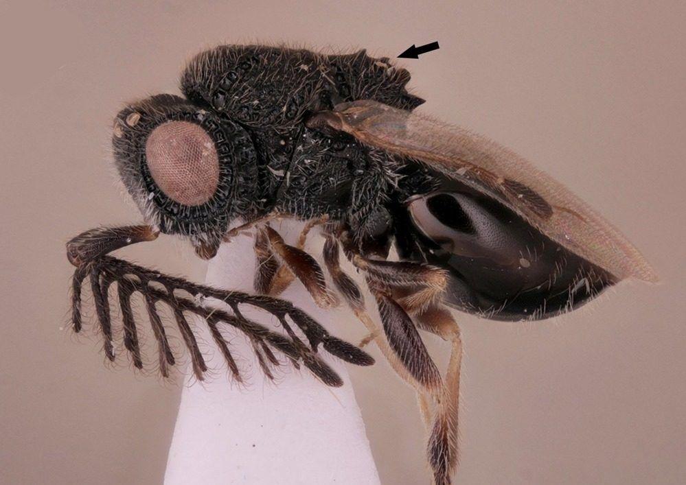 Cette guêpe parasitoïde a une petite scie sur son dos pour s'extraire du corps de sa victime