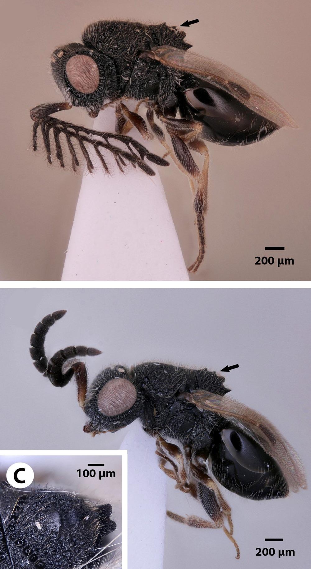 Dendrocerus scutellaris habitus