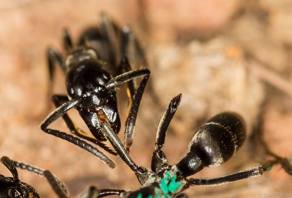 Ces fourmis soignent et sauvent au cas par cas leurs camarades blessées sur le champ de bataille