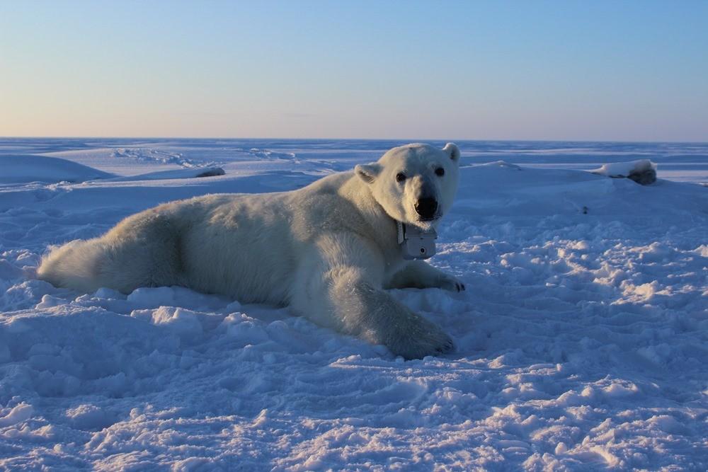 Le dérèglement climatique affame les ours polaires