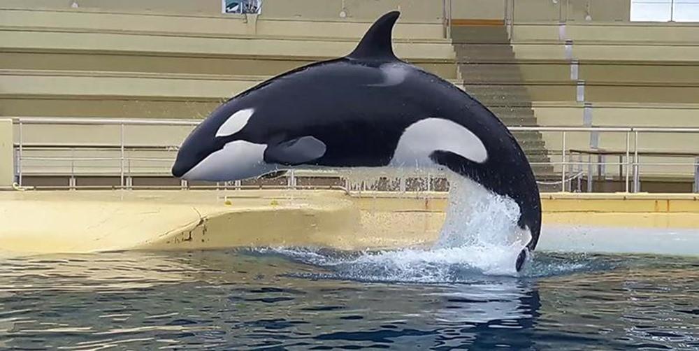 En tentant d'imiter la voix humaine les orques confirment qu'elles ne sont pas faites pour vivre en captivité