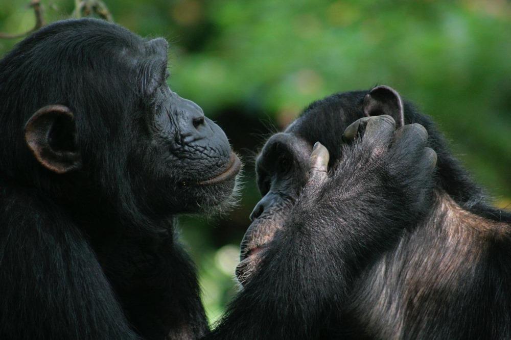pas mal de gestes utilis s par les bonobos et les chimpanz s partagent la m me signification. Black Bedroom Furniture Sets. Home Design Ideas
